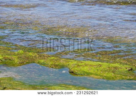 Sea Grass Weed On A Stone Moss In Bali At The Beach
