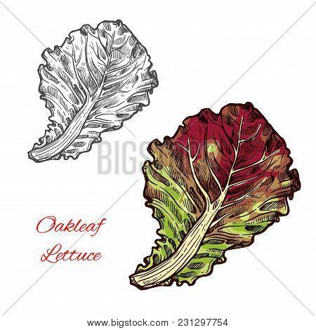 Red Oakleaf Lettuce Vegetable Icon. Green Leaf Of Lettuce Salad. Concept Of Healthy Food And Vegetar