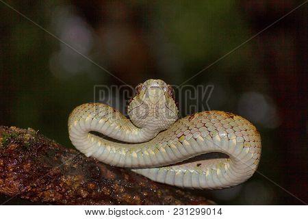 Malabar Pit Viper Trimeresurus Malabaricus - Ventral View, Chorla Ghat, Maharashtra, India