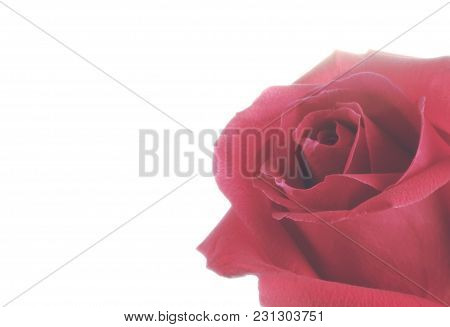Rose Isolated On White Background.