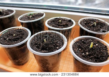 Germinating Seeds Of Tomato And Pepper On Windowsill In Containers.