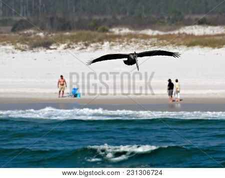Brown Pelican - Pelecanus Occidentalis - Single Bird Flying Over Water Near Beach With People In Bac