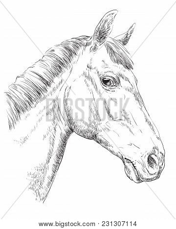 Trakehner Horse Portrait. Horse Head  In Profile In Monochrome Color Isolated On White Background. V