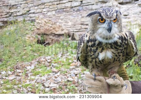 The Hand Holds A Large Beautiful Owl Bird. Space For Copy Space.