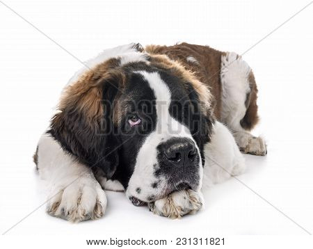 Young Saint Bernard In Front Of White Background