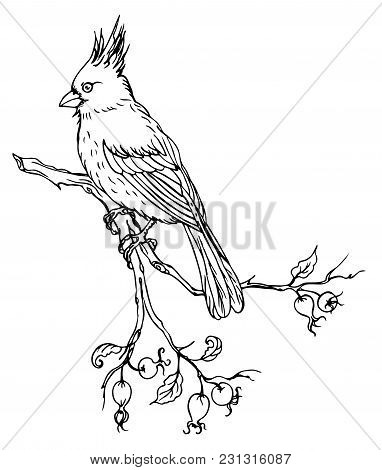 Bird Cardinal On Branch Of Wild Rose, Black And White Vector Illustration On White Background.