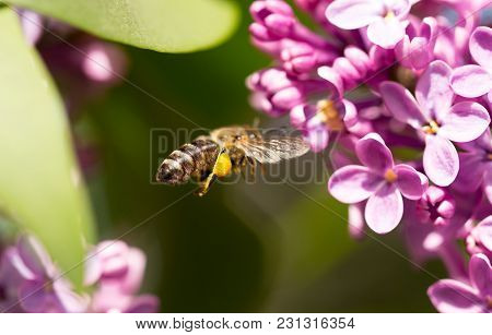 The Bee Flies On The Flowers Of The Lilac .