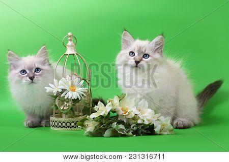 Small Siberian Neva Masquarade Colorpoint Kitten