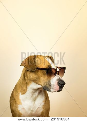 Funny Staffordshire Terrier Dog In Sunglasses. Studio Photo Of Pitbull Terrier Puppy In Summer Shade