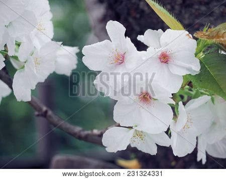 Beautiful White Sakura Flowers In Japan, Selective Focus And Close Up