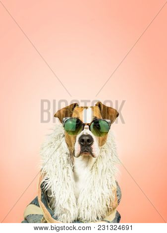 Funny Staffordshire Terrier Dog In Sunglasses And Hippy Coat. Studio Photo Of Pitbull Terrier Puppy