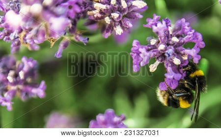 Macro Photo Of Bumblebee On A Lavender.