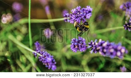 Panoramic Close Up Picture Of Insect Collecting Nectar.