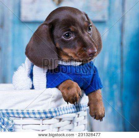 dachshund puppy dressed