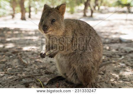 Quokka, Setonix Brachyurus, Image Was Taken On Rottnest Island, Western Australia
