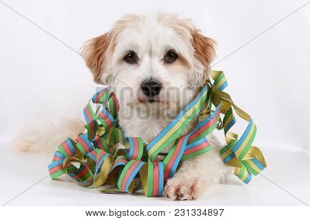 Beautiful Havanese Is Lying In The Studio With Colorful Paper Streamers Around The Neck