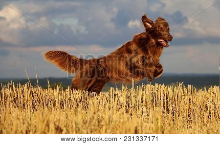 Brown Flat Coated Retriever Is Jumping In A Stubble Field