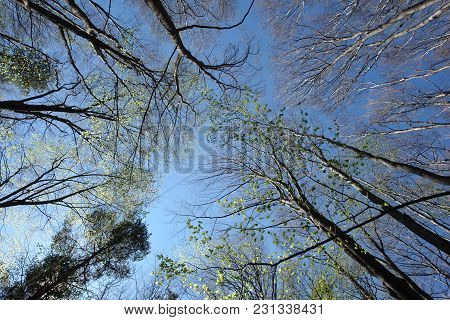Tall Beeches In The Early Spring And Blue Sky