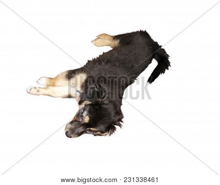 Cute little puppy pooch resting. Isolated on white poster