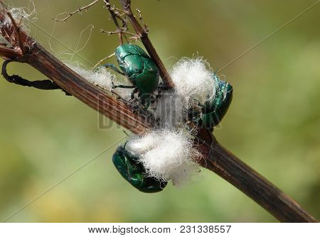 Chafer Beetles Cetonia Aurata Take Out The Fibers From Dry Plants
