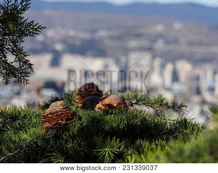 Photo Of Cones On The Background Of Tbilisi. Green Branches. Boke