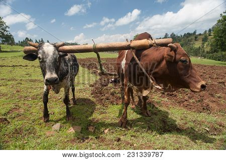 White And Brown African Bulls Harnessed To An Ethnic Indigenous Wooden Plow Amid A Field With Plowed