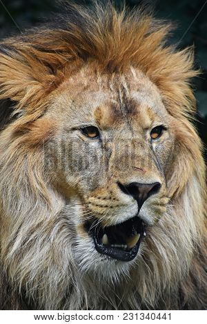 Close Up Portrait Of Young Male African Lion With Beautiful Mane, Looking At Camera With Mouth Open,