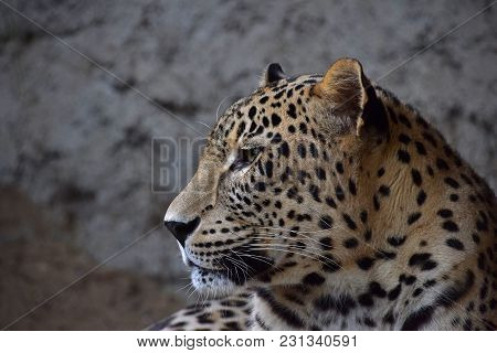 Close Up Side Profile Portrait Of Amur Leopard (panthera Pardus Orientalis) Looking Away, Low Angle