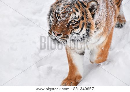 Close Up Portrait Of One Young Male Amur (siberian) Tiger In Fresh White Snow Sunny Winter Day, Look