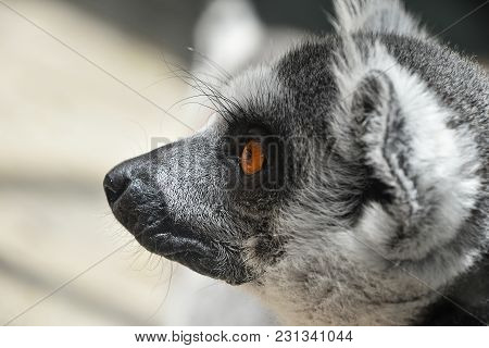 Close Up Portrait Of One Cute Ring-tailed Lemur (aka Lemur Catta, Maky Or Madagascar Cat) In Profile