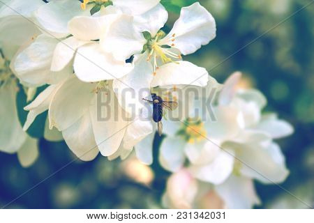 Bee Collects Nectar On A White Blossoming Tree Branch. Toned