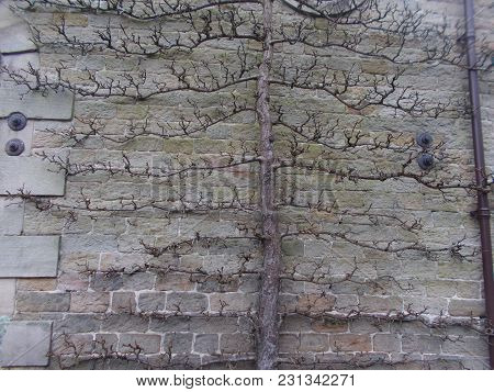 Pyrus Beurre Hardy Pear Tree Grown Up A Wall For The Best Sheltered But Sunny Spot