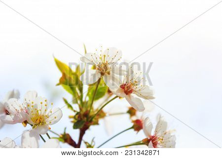 Cherry Or Apple Blossom In Spring Time Over Sky Background