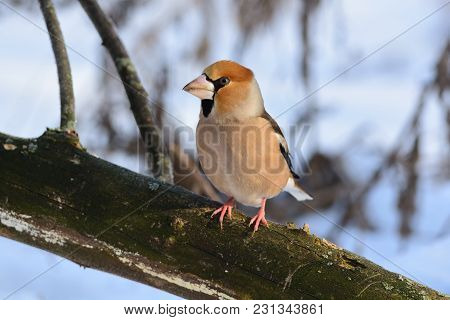 The Hawfinch (coccothraustes Coccothraustes) Sits On A Fallen Dry Log Against The Background Of Dry