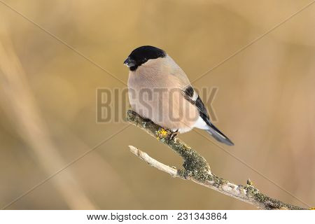 Eurasian (common) Bullfinch (pyrrhula Pyrrhula) Sits On A Forked Branch Covered With Lichen (soft Ol