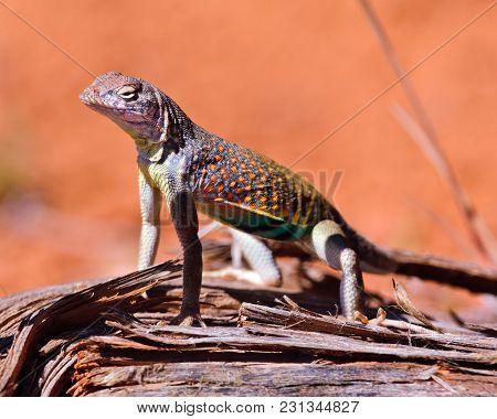Greater Earless Lizard Of Arizona Displaying