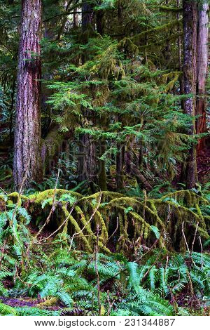 Conifer Forest With Pine Trees And Fern Plants Taken At The Temperate Hoh Rain Forest In Olympic Nat
