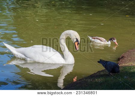 White Swan, Duck And Pigeon In The Park. Birds