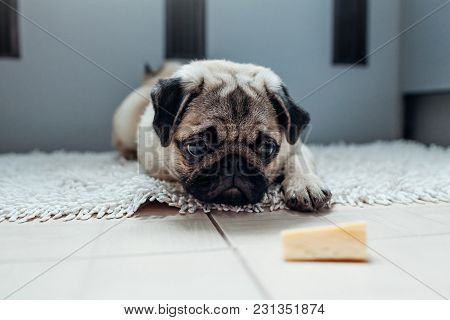 Pug dog waiting for a permission to eat cheese on the kitchen. Training of a patience. poster