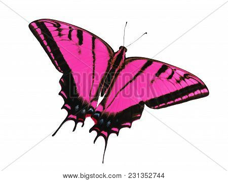 Two-tailed Swallowtail Butterfly, Papilio Multicaudata, Isolated On White Background. The Largest Of