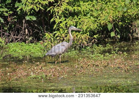 Phenomenal Great Blue Heron stalking, tracking, hunting, and fishing on lake in Sliver Lakes Community in Clarksville, Indiana on a bright summer day