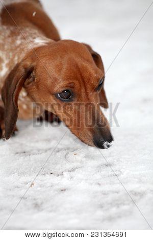 Dachshund Dog Piebald Colours Snow Winter Garden