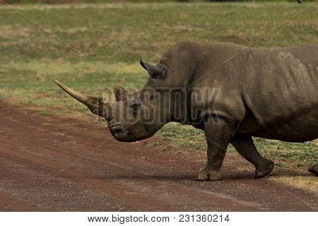 A Large Rhinoceros Cros Sing Gthe Road