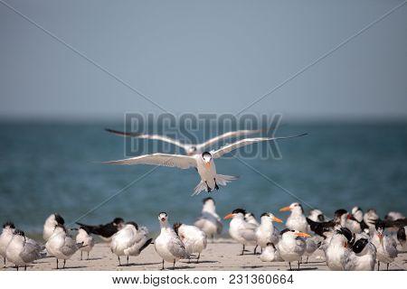 Royal Tern Thalasseus Maximus Shorebird