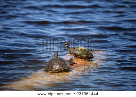 Softshell Turtle Apalone Ferox  Sits On A Log With A Florida Red Bellied Turtle Pseudemys Nelsoni