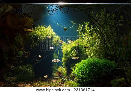 Night View Of Planted Tropical Fresh Water Aquarium With Small Fishes In Low Key With Dark Blue Back