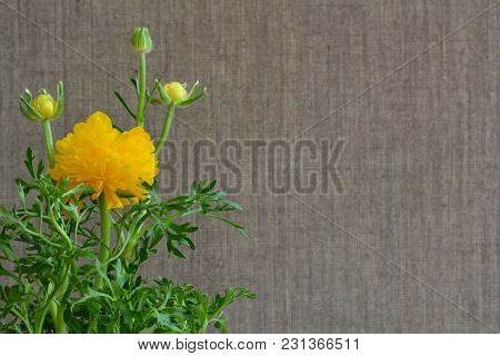Yellow Ranunculus Flower On Gray Background Made Of Flax. Decorative Plant.