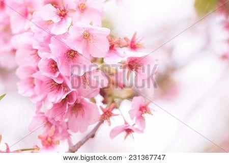 Pink Cherry Blossom(cherry Blossom, Japanese Flowering Cherry) On The Sakura Tree. Sakura Flowers Ar