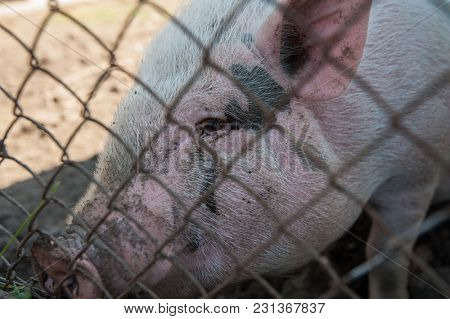 Pig at pig farm in sunny day