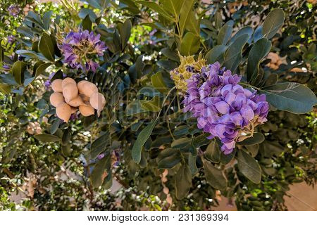 Summer Heat-loving Texas Mountain Laurel (calia Secundiflora, Formerly Sophora Secundiflora) Floweri